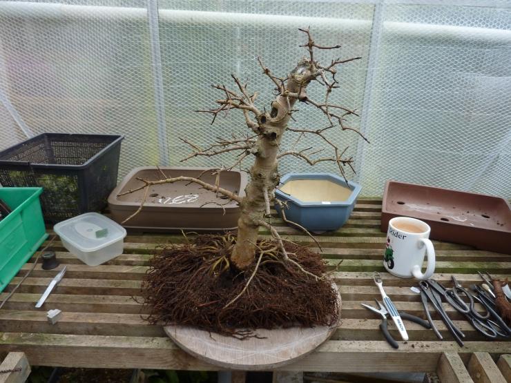 Acer Monspessulanum 2011