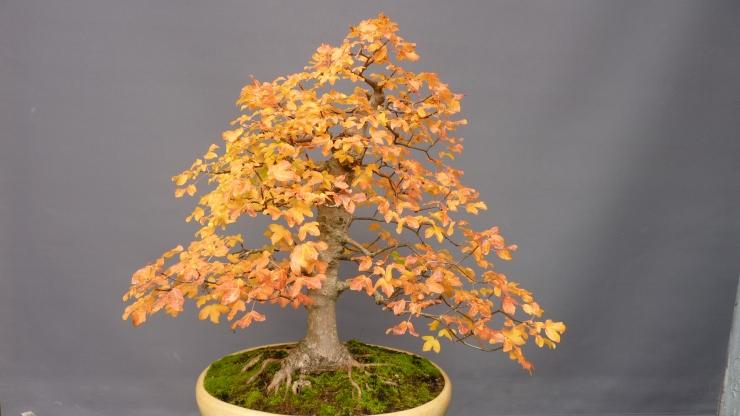 Acer Monspessulanum 2017