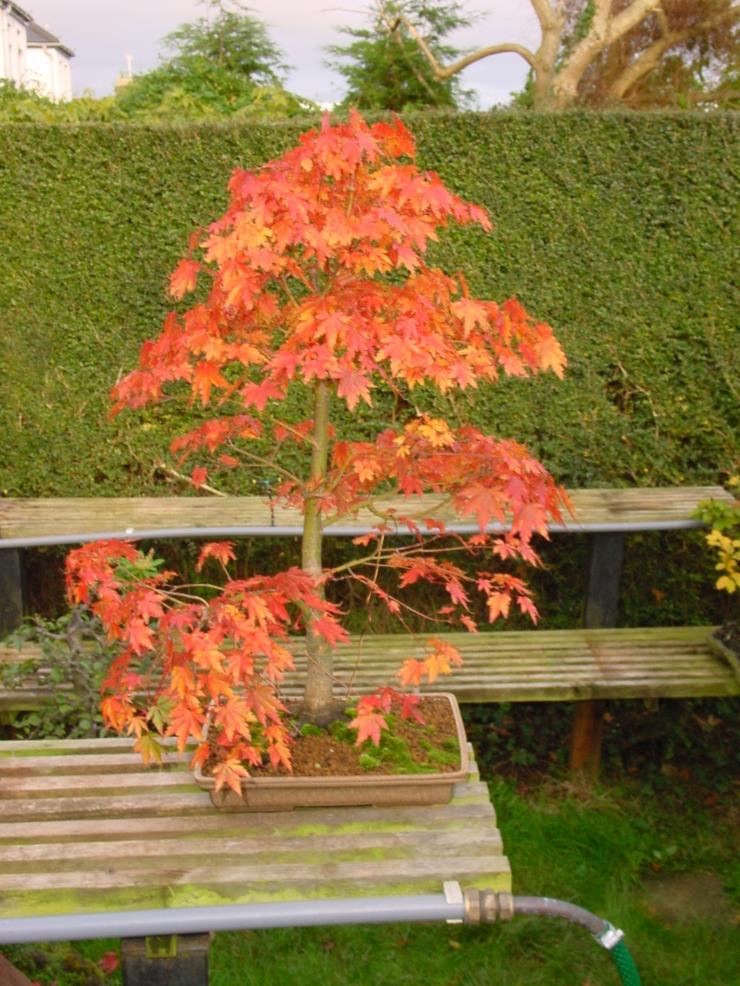 Acer Palmatum 2002