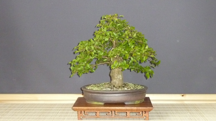 Korean hornbeam 2011